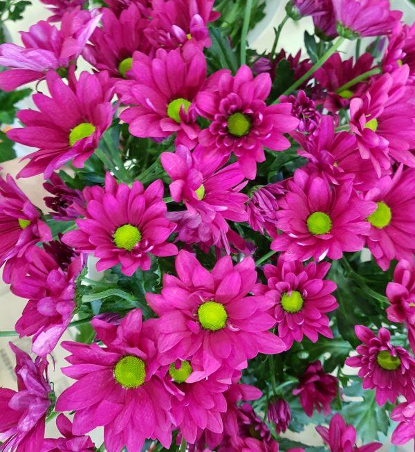 Малиновые хризантемы
