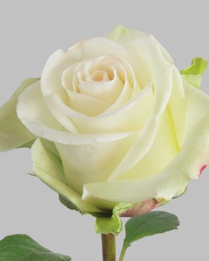 Белая роза с крупным бутоном