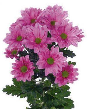 Ромашковых хризантемы розовые