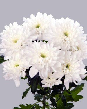 Большие пушистые хризантемы